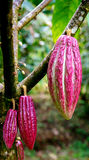 Cocoa Cacao pods on tree. Purple ripe Cocoa Cacao pods on tree Royalty Free Stock Photo