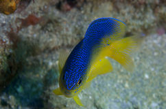 Cocoa Damselfish Royalty Free Stock Photos