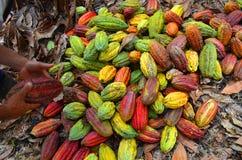 Cocoa farm, Fresh cocoa, cocoa fruits. Cocoa plantation in Ecuador,  , multicolored fruits after the harvest Stock Photography
