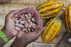Cocoa farmer. A farmer hands full of freshly harvested cocoa pepas Royalty Free Stock Photos