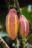 Cocoa fruit close-up Stock Image
