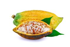 Cocoa fruit isolated on white background royalty free stock photography