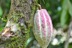 Cocoa fruit in Costa Rica. Green and pink cacao/cocoa fruit in Costa Rica Stock Images