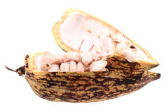 cocoa fruit isolated Royalty Free Stock Photo