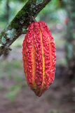 Cocoa fruit. Cocoa pod on tree branch royalty free stock photo