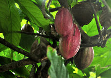 Cocoa fruit ripens on the trees. cocoa farm in the Dominican Republic. Stock Images