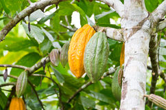 Cocoa fruit in the tree Royalty Free Stock Photo