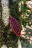 Cocoa fruit in the tree in Madagascar Royalty Free Stock Images