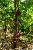 Cocoa fruit in the tree in Madagascar Stock Photo