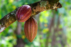 Cocoa fruit on a tree Stock Photos