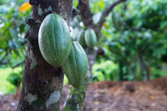 Cocoa fruit on a tree Royalty Free Stock Image