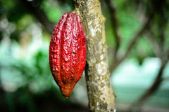 Cocoa fruit, tropical fruit in Bentre province, vietnam Royalty Free Stock Image