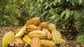 Cocoa Fruits Accumulated In The Ground Ecuador. Dolly Shot Of Cocoa Fruits Accumulated In The Ground Ecuador stock video