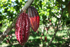 Cocoa fruits on tree royalty free stock photography