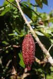 Cocoa fruits on tree Royalty Free Stock Photography