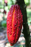 Cocoa fruits on tree Stock Photography