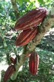 Cocoa fruits on tree Royalty Free Stock Photos