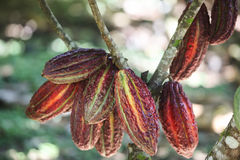 Cocoa fruits on tree Stock Image