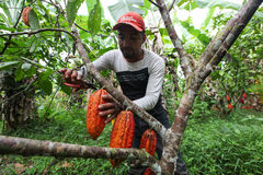 Cocoa growers in rainforest in Peru Royalty Free Stock Photos