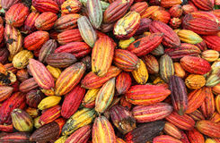 Cocoa growers in rainforest in Peru Stock Photo