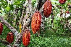 Cocoa growers in rainforest in Peru Royalty Free Stock Photo