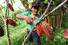 Cocoa growers in rainforest in Peru Royalty Free Stock Images