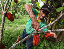Cocoa growers in rainforest in Peru Royalty Free Stock Image