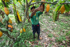 Cocoa growers in rainforest in Peru Stock Photography