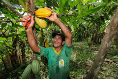 Cocoa growers in rainforest in Peru Royalty Free Stock Photography