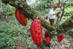 Cocoa growers in rainforest Stock Photo
