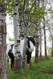 Cocoa. Gypsy Vanner finds shade in a grove of trees Royalty Free Stock Photo