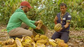 Cocoa Harvesting In Ecuador. Indigenous Man And Worker Harvesting Cocoa Beans In Ecuador stock video