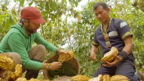Cocoa Harvesting By A Indigenous Man And A Worker. In Ecuador stock footage