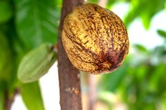 Cocoa plant fruit. Cacao Tree. Organic cocoa fruit pods in nature. cocoa plant fruit. cocoa pods hanging on tree branch stock image