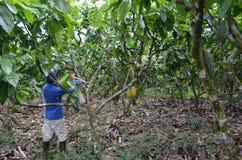 Cocoa plantation. A man harvest cocoa in  plantation in Ecuador Stock Photography