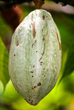 Cocoa pod. Hanging from a tree royalty free stock photos
