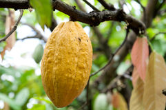 Cocoa pod. Cocoa or cacao pods on tree Royalty Free Stock Photography
