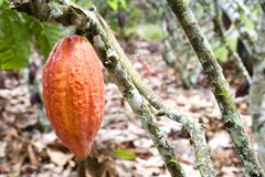 Cocoa Pod Royalty Free Stock Photo