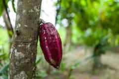 A cocoa pod in Bali royalty free stock photos