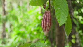 Cocoa tree with fruit, Bali Indonesia. Cocoa pod fruit hang on tree branch. Cacao farm plantation close up on cocoa fruit crop. One raw chocolate fruit. Hanging stock video footage