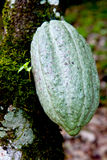 Cocoa pod green. Cacao pod on tree (theobroma cacao) - various stages of ripening Stock Photos