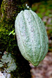 Cocoa pod green Royalty Free Stock Photo