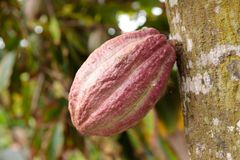 Cocoa pod growing from tree in Cuba royalty free stock image