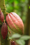 Cocoa. Pod hanging from a tree in a plantation in Bali Stock Images