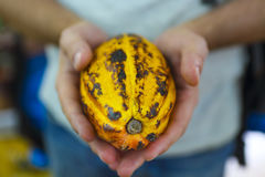 Cocoa pod in mans hand Royalty Free Stock Photo