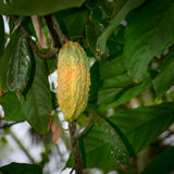 Cocoa pod on the tree Stock Images