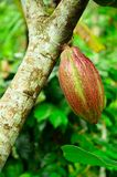 Cocoa pod. Royalty Free Stock Photo