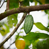 Cocoa pod on the tree Royalty Free Stock Image
