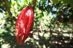 A cocoa pod on a tree Royalty Free Stock Photography