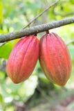 Cocoa pod on the tree Stock Photography